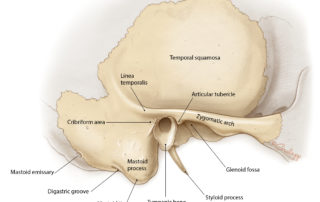 Surface anatomy of the temporal bone.