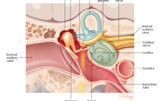 Relationships of the middle ear: coronal aspect.
